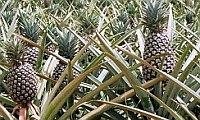 Sennik egipski Sen z ananasem