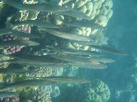 Ławica ryb przepływająca obok rafy