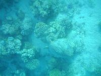 Żółwie podgryzają korale rafy