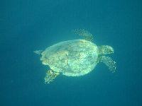 Po jedzonku żółw wypływa do góry na powierzchnię