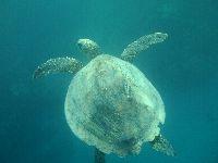 Gdy żółw żeruje przy dnie - trudo go dostrzec