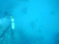 Żółwie pogryzają korale rafy