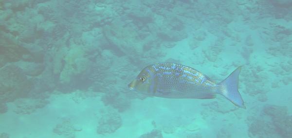 Letra niebieska, Lethrinus nebulosus, Bluescale emperor - ryby Morza Czerwonego