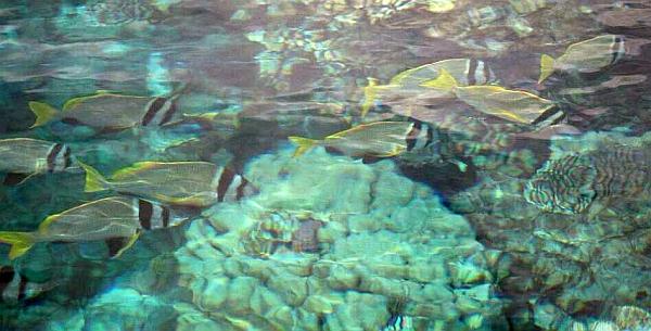 Sparus czarnolicy - Acanthopagrus bifasciatus - Twobar seabream - ryby Morza Czerwonego