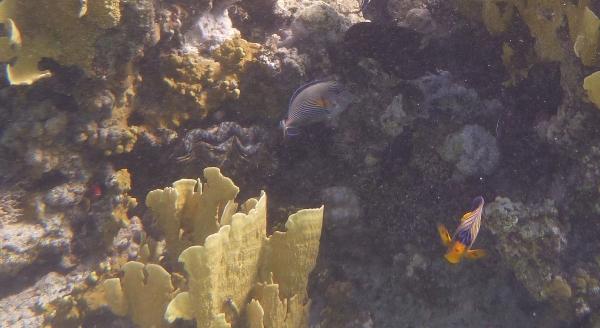 Royal angelfish, Ustnik Słoneczny, Aniołoryba wspaniała - ryby Morza Czerwonego