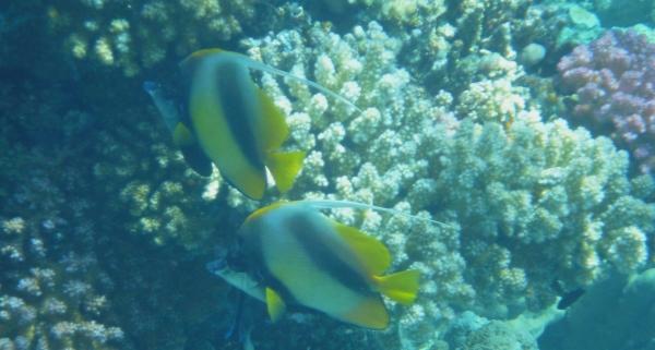 Motylek czarnopręgi Pennant coralfish - Heniochus acuminatus - Bannerfish - ryby Morza Czerwonego