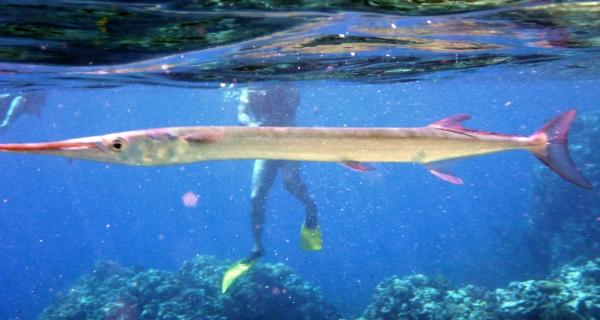 Belona krokodylia Houndfish Tylosurus crocodilus Crocodile-needlefish ryba z rodziny belonowatych - ryby Morza Czerwonego