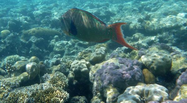 Papugoryba dwubarwna - Cetoscarus bicolor Bicolour parrotfish  Scaridae - ryby Morza Czerwonego