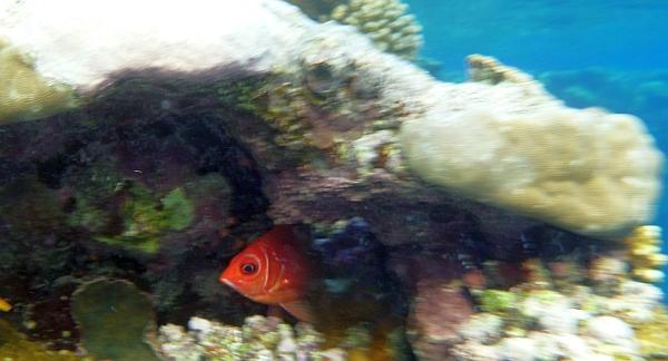 Latarnica czerwona -  Priacanthushamrur - Crescent-tail bigeye - ryby Morza Czerwonego