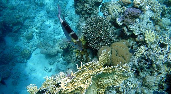 Paśnik żółtopłetwy, Monotaxis grandoculis, Bigeye emperor, Bigeye Seabream - ryby Morza Czerwonego