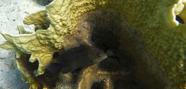 Garbik Czarny - Neoglyphidodon melas - bowtie, black, bluefin or royal damsel  - ryby Morza Czerwonego