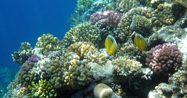 Motylek wyjątkowy - Black-tailed Butterflyfish, Exquisite butterflyfish - Chaetodon austriacus - ryby Morza Czerwonego