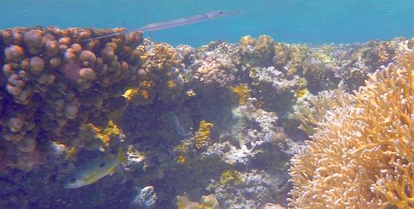 Lucjan lampasek - Lutjanus fulviflamma - Dory snapper, Blackspot snapper - ryby Morza Czerwonego