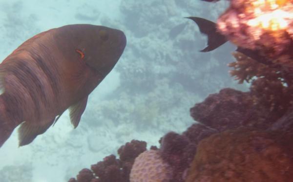 Wargacz Miotełkowy-ogon  Broomtail wrasse - Cheilinus lunulatus  - ryby Morza Czerwonego