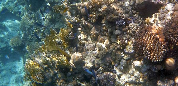 Fizylier Suez - Cesjowate Caesionidae - Caesio suevica - Suez fusilier  - ryby Morza Czerwonego