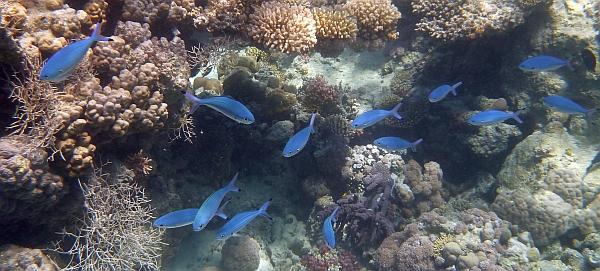 Fizylier Suez - Cesjowate Caesionidae - Caesio suevica - Suez fusilier - Red Sea goatfish - ryby Morza Czerwonego