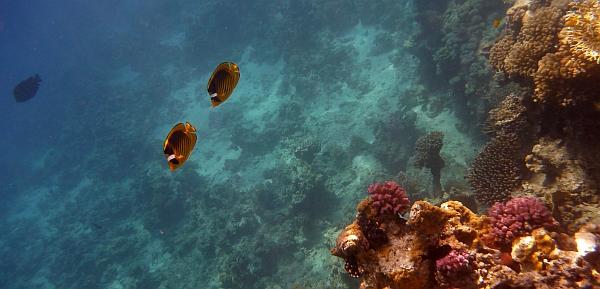 Ustnik lunula - Ustnik szop -  Raccoon butterflyfish - Chaetodon Lunula - ryby Morza Czerwonego