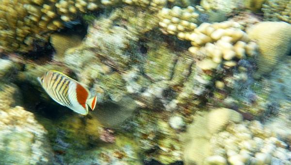 Motylek koronowany, Motylek jodełkowany  - Eritrean Butterflyfish, Crown Butterflyfish - Chaetodon paucifasciatus - ryby Morza Czerwonego