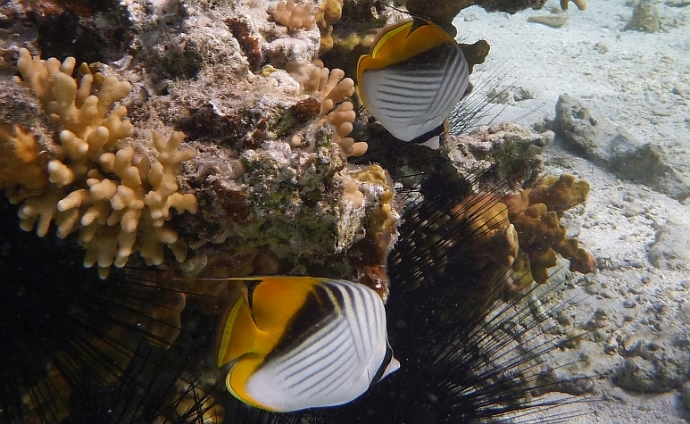 The Lined Butterflyfish - Chaetodon lineolatus - ryby Morza Czerwonego