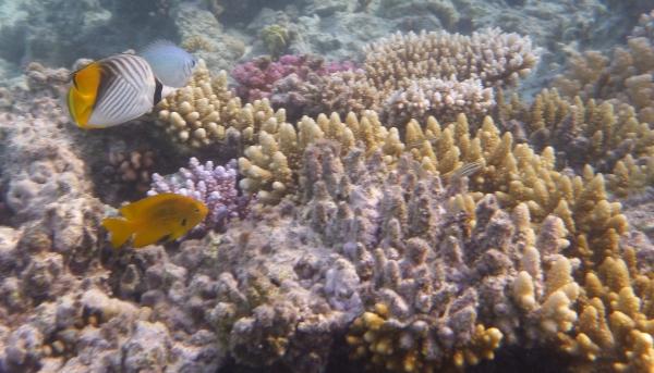 Nad rafą Lined butterfly fish - Chaetodon lineolatus -  Chetonik smużkowy - ryby Morza Czerwonego