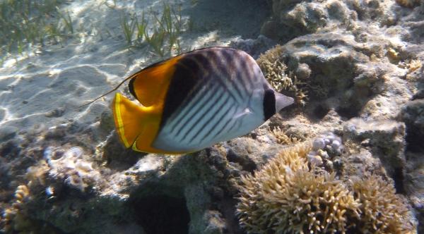 Lined butterfly fish - Chaetodon lineolatus -  Chetonik smużkowy - ryby Morza Czerwonego