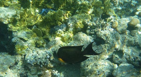 Pokolec prążkowany - Striped Bristletooth, Lined Bristletooth - Ctenochaetus striatus - ryby Morza Czerwonego