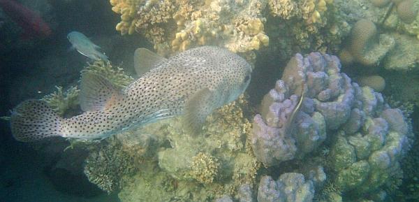 Najeżka olbrzymia - Giant porcupinefish, Spotted Porcupine Fish - Diodon hystrix - ryby Morza Czerwonego