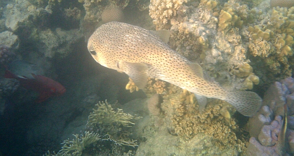 Najeżka olbrzymia - Giant porcupinefish, Spotted Porcupine Fish - Diodon hystrix - - ryby Morza Czerwonego