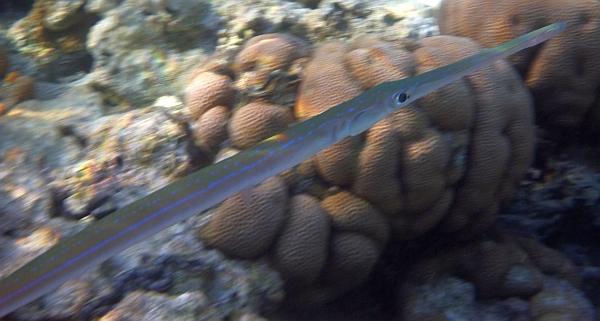 Fistulka, Ryba kornet - Fistularia commersonii, Cornetfish - ryby Morza Czerwonego