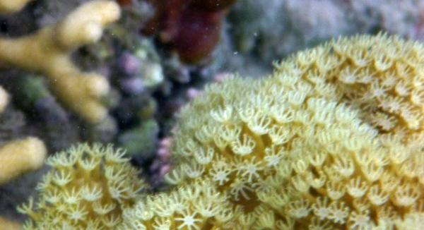 Koperki podwodne - Flora Morza Czerwonego