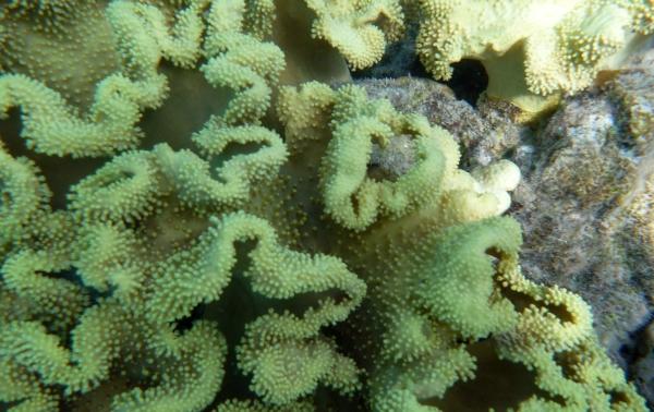Sareophyton trocheliophorum  - Mushroom leather coral - Flora Morza Czerwonego