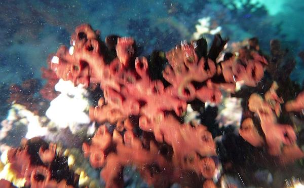Gąbki - Porifera, Spongiaria Morza Czerwonego