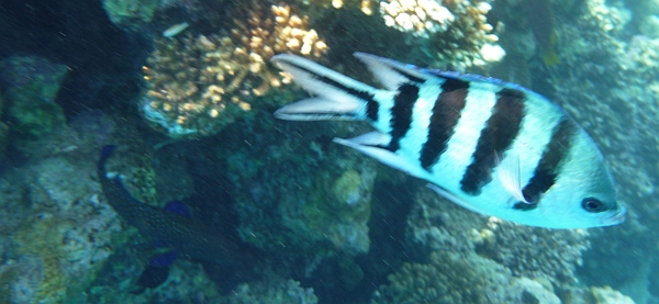 Garbik pasiasty - Abudefduf saxatilis Sergeant major fish - ryby Morza Czerwonego