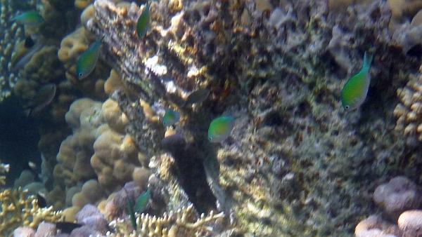 Garbik zielony,  Kastaniet zielony  - Chromis viridis  Green Chromis Blue-green Chromis - ryby Morza Czerwonego
