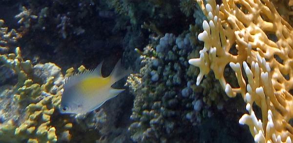 Garbik złoty - Amblyglyphidodon aureus - Golden damsel - ryby Morza Czerwonego