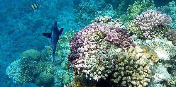 Gomfos dziobaczek, wargacz ptasi - Gomphosus caeruleus - Grenn birdmouth wrasse,  Blue bird wrasse - ryby Morza Czerwonego