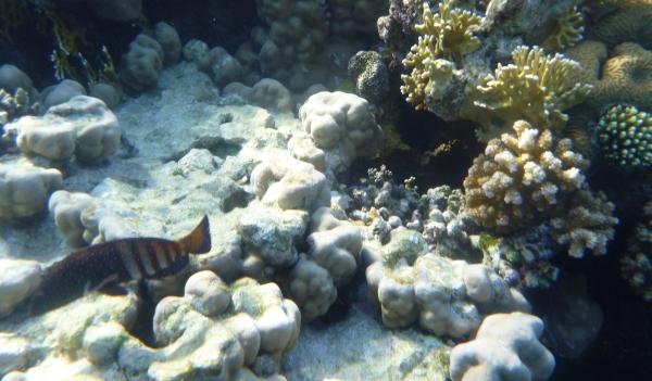 Granik pasiasty epoletowy - Epinephelus stoliczkae Epaulet grouper - ryby Morza Czerwonego