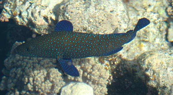 Granik zmienny - Cephalopholis argus - Peacock grouper - ryby Morza Czerwonego