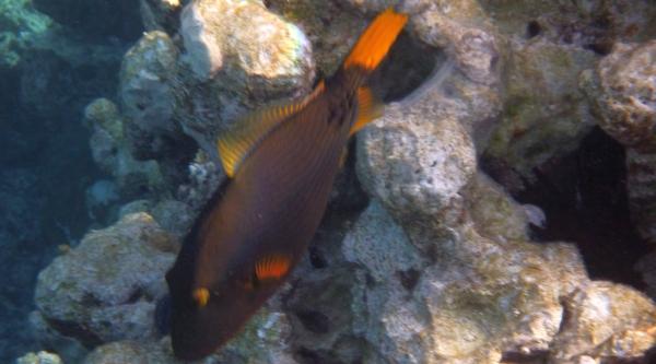 Rogatnica kolczasta niebieska - balistapus undulatus - Orange Striped Trigger - ryby Morza Czerwonego