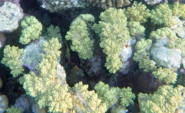 Koral gronowy Plerogyra sinuosa Grape coral  Koralowce Morza Czerwonego