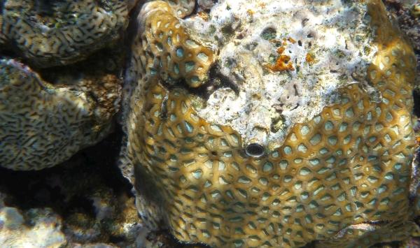 Koral siatkowy Large Star Coral - Favia maxima  Koralowce Morza Czerwonego