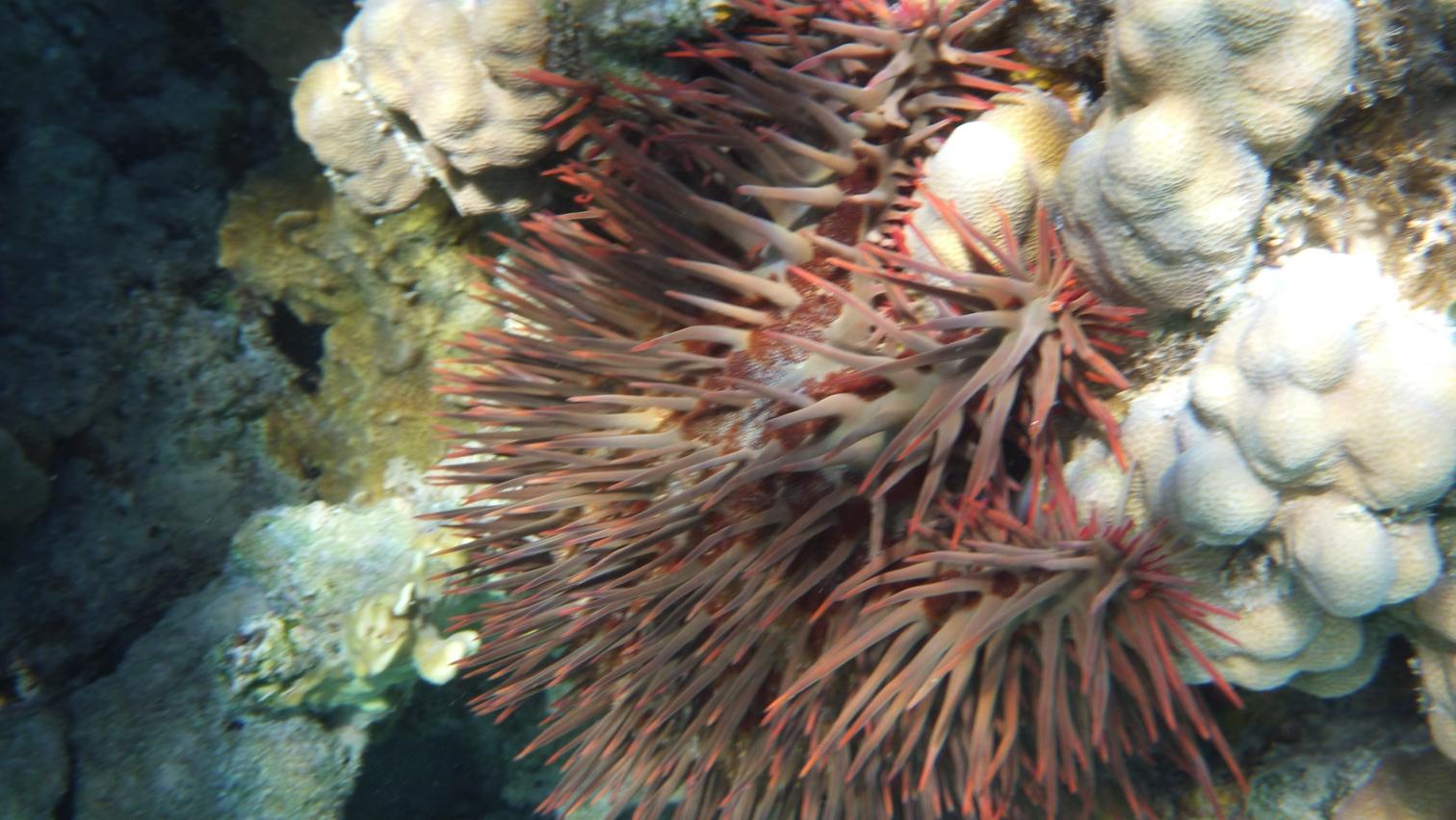 Korona cierniowa Acanthaster planci  Crown-of-thorns sea star