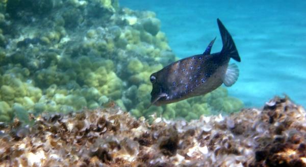 Kostera gruzełkowata Cubicus Boxfish Ostracion cubicus, Ostracion cyanurus, Ostracion meleagris  - ryby Morza Czerwonego