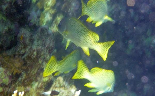 Luszczyniec nakrapiany - Haemulidae Plectorhinchus gaterinus - Blackspotted sweetlips - ryby Morza Czerwonego
