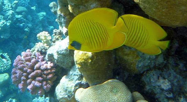 Motylek niebieskolicy - Masked Butterflyfish,  Chaetodon semilarvatus - ryby Morza Czerwonego