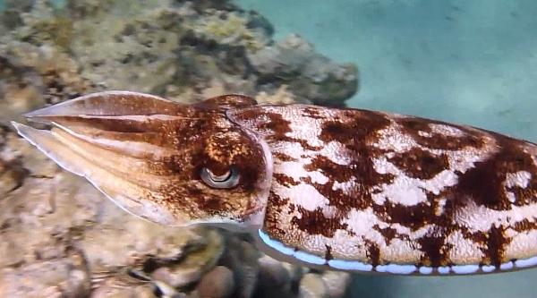 Mštwa - sepia - Sepioidea - ryby Morza Czerwonego