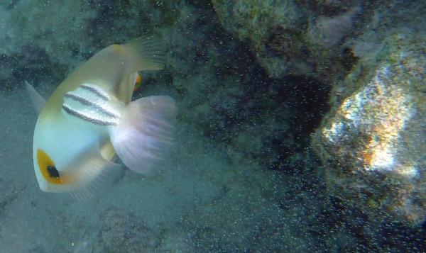 Meduzy Cnidaria Chełbia modra Aurelia aurita - ryby Morza Czerwonego