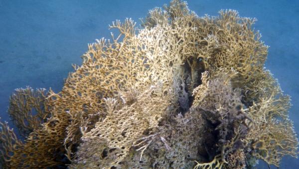 Koral ognisty - Millepora dichotoma - Fire coral Koralowce Morza Czerwonego