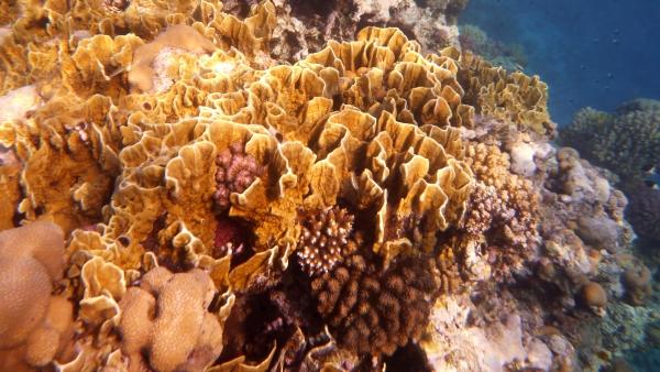 Koral Płytkowy ogień Millepora platyphylla - Plate fire coral Koralowce Morza Czerwonego
