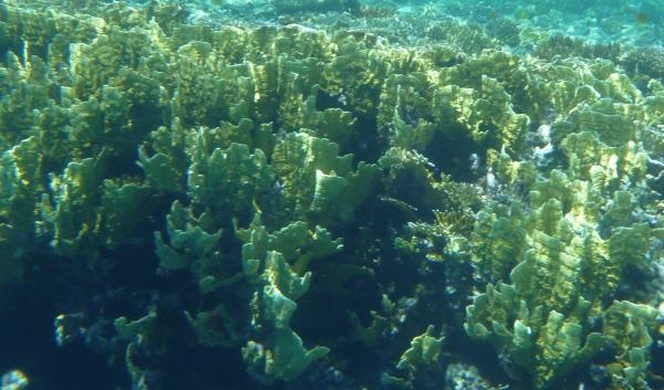 Millepora platyphylla - Plate fire coral Koralowce Morza Czerwonego